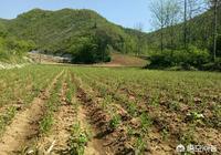 蒼朮人工栽培幾年可以收穫?