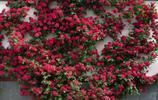 種了這些爬藤植物,陽臺一不小心就成花的海洋,優雅如仙境
