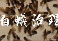 成都白蟻入侵:家裡有白蟻怎麼辦