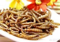 養殖500盤黃粉蟲需要多少錢?