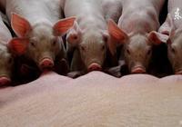 最詳豬場技術:仔豬黃白痢的防治