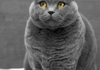 英國短毛貓十種受歡迎的毛色,你知道幾種呢?你家貓是哪種