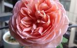 老婆硬要種的月季品種,吼吼吼,開花了!