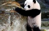 大熊貓:大熊貓行為特點