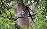 紅嘴藍鵲,夜鷺,黑領椋鳥,黑喉噪鶥,白腰文鳥,黑臉噪鶥,繡眼