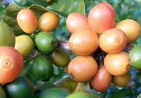 衝煮分享   「哥倫比亞·粉波旁」咖啡怎麼衝好喝?