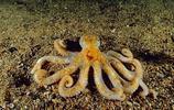 動物圖集:渾身軟乎乎、滑溜溜的的小章魚