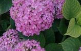 粉色繡球花,令人悅目怡神