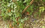 自己地裡種的無農藥蔬菜,瞧瞧都是啥,晚上有喜歡的菜吃了