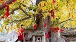 河南衛輝:羅圈村千年銀杏披金甲,金秋美景不收費