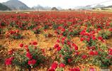 雲南普者黑千畝食用玫瑰花期正盛 眾多遊客拍花 還有人買回去吃