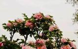 如何拍攝出牡丹花的富麗堂皇?看看這些攝影師的優秀作品