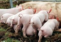 豬場養豬賺錢難,魚粉價格貴,教你一招降低成本