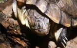 烏龜圖集:頭盔泥龜
