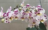 在花市五塊錢淘了一棵蝴蝶蘭,養了一年,滿滿的驚喜