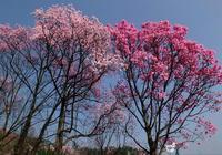 """""""4種""""可以開花的""""樹"""",一樹繁花盛開,這觀賞性比盆栽優秀"""