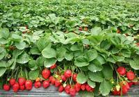 摘草莓的鄉村趣事