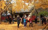 遊客趕到山東為看一棵樹,4000年樹齡8人合抱,深秋最佳觀賞時節