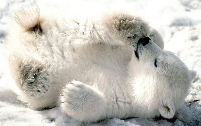 哺乳動物:北極熊