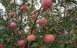 你吃過蘋果,但是你見過蘋果花嗎?快來看看吧。