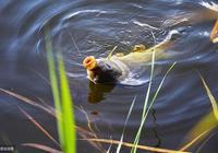萬能魚餌:紅蚯蚓、黑蚯蚓的加工和使用