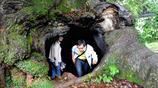 一棵1800年空心古樟樹,樹洞可容納20餘人,下雨滴水不漏如避雨亭