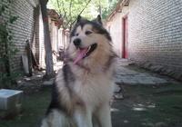 成年阿拉斯加怎麼餵養 養阿拉斯加犬注意事項