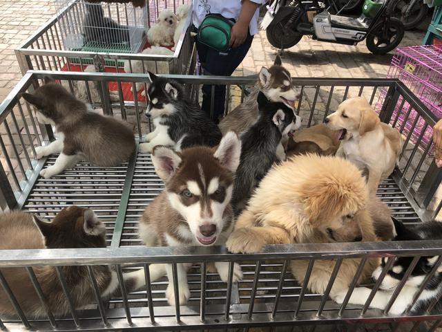 狗狗大聚會,寵物品種很多,看看有沒有你喜歡的,走進狗市實拍