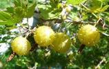 90後小夥回農村創業,種了100畝無籽刺梨,年收入近200多萬元