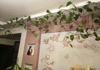 我家的綠蘿,長勢尚可,就是葉子不肥不亮偏小,兩年沒有換土了,怎麼辦?求高手指點?