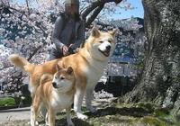 只知道柴犬和秋田?日本的狗狗不止這麼少,他們有六大天然紀念物