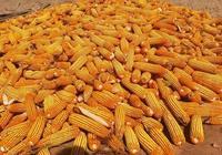 未來玉米價格還能漲嗎?如果漲空間有多大?農民什麼時候賣糧合適?