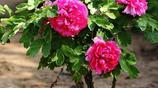院子再小也別浪費!種上這些花苗,好活易打理,開花時美如一幅畫