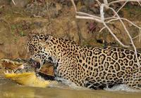 南美叢林頂尖的殺手,在生活區橫著走,鱷魚和蟒蛇見了都要繞路