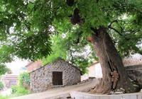 刺槐樹都有什麼用處?