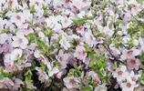 瀋陽:路邊盛開的榆葉梅