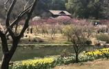 無錫梅園的梅花已經到了最美的時候,再不去就晚了