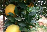 大山的橙子