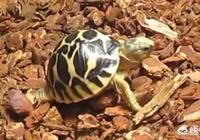 如果烏龜長時間在水中不上岸,它會死嗎?為什麼?