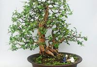 盆景中的雙杆高樹該如何去處理?