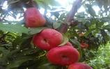 知道這些蟠桃品種,一畝地收益4萬元,前景好的蟠桃品種