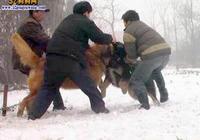 高加索犬vs藏獒犬