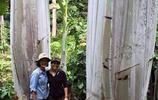 地球上最大的香蕉 產自熱帶雨林 單個香蕉重達4斤 樹高十幾米