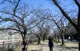 來到日本賞櫻的第一站大阪城,然而那天整個公園只有一棵樹開了花