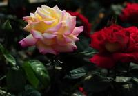 玫瑰、月季分不清?這些年我們買的玫瑰可能都是月季!