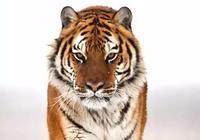 萬獸之王-東北虎