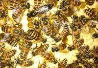 蜜蜂分中蜂和意蜂,蜂蜜又有熟蜜和水蜜,濃縮蜜大家知道嗎?