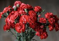 盆栽康乃馨花量巨大,這樣養護十幾個花苞一同竄出,爆盆連連