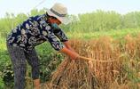 農村午收最忙碌的場面,用鐮刀收割小麥很累人,你還記得嗎?