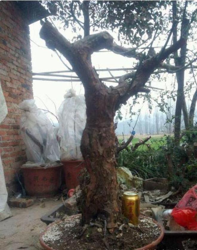 農村老屋旁百年薔薇被強挖,嫁接月季後轉身要價成千上萬